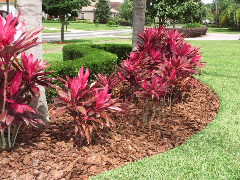 Croton Magnificent besides Tabebuia Yellow also mon Ornamental Grasses additionally Backyard Landscaping Ideas likewise Landscaping Ideas In Miami. on design your landscape hedges in florida